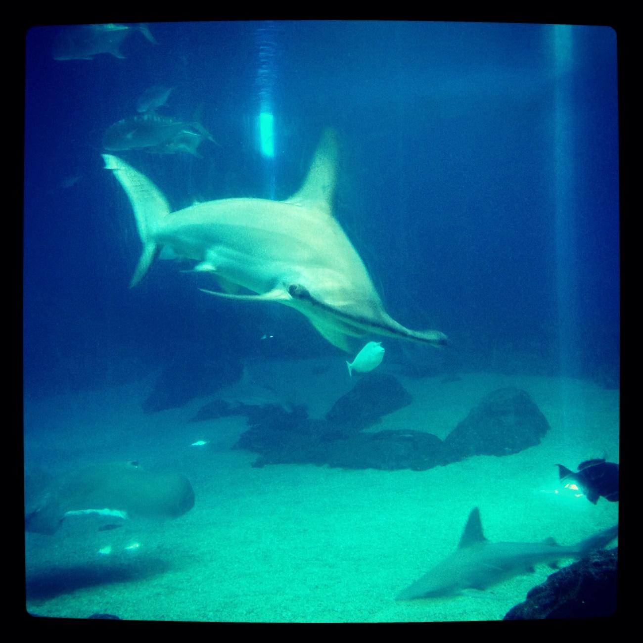 Hammer head shark at the Aquarium on Maui